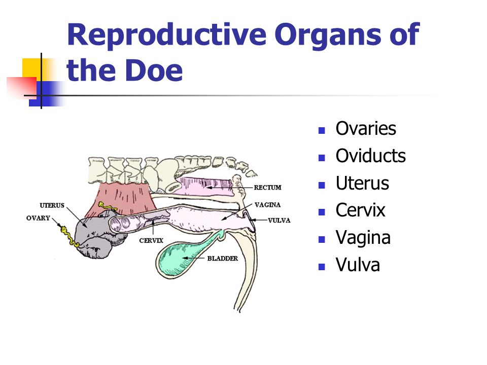 Reproductive Organs of the Doe