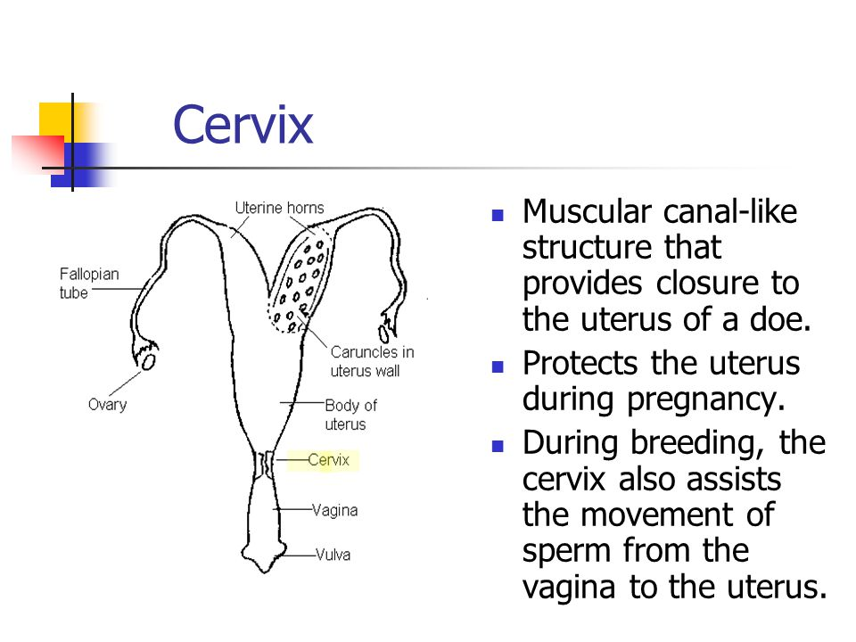 Cervix Muscular canal-like structure that provides closure to the uterus of a doe. Protects the uterus during pregnancy.