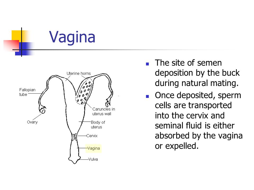 Vagina The site of semen deposition by the buck during natural mating.