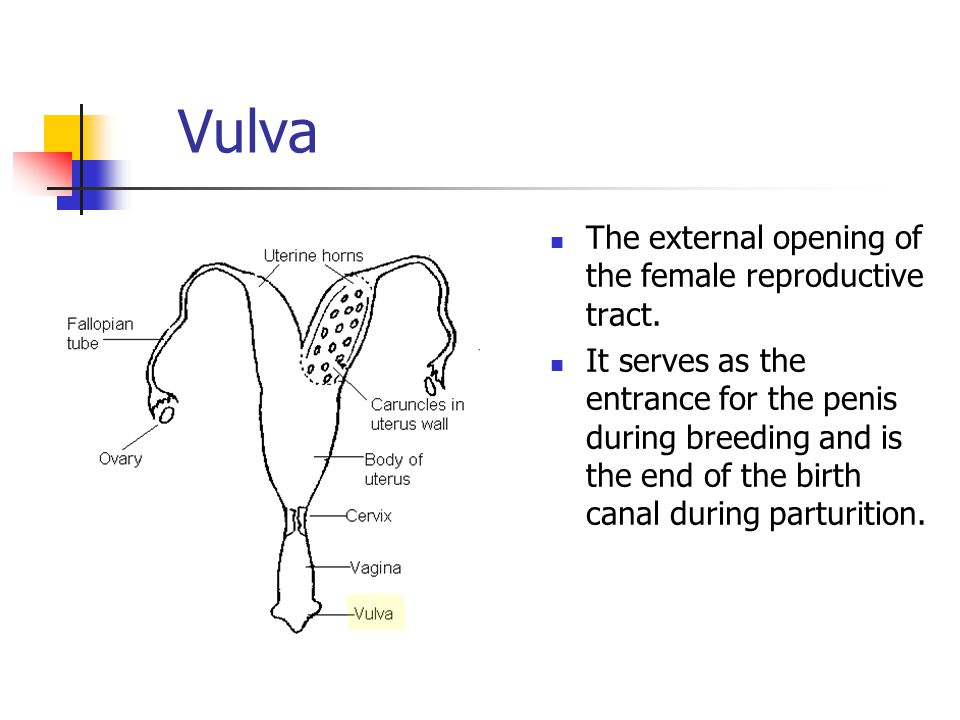 Vulva The external opening of the female reproductive tract.