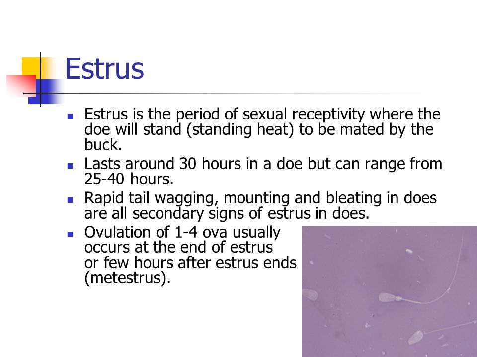 Estrus Estrus is the period of sexual receptivity where the doe will stand (standing heat) to be mated by the buck.