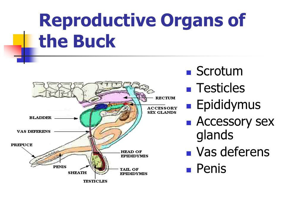 Reproductive Organs of the Buck