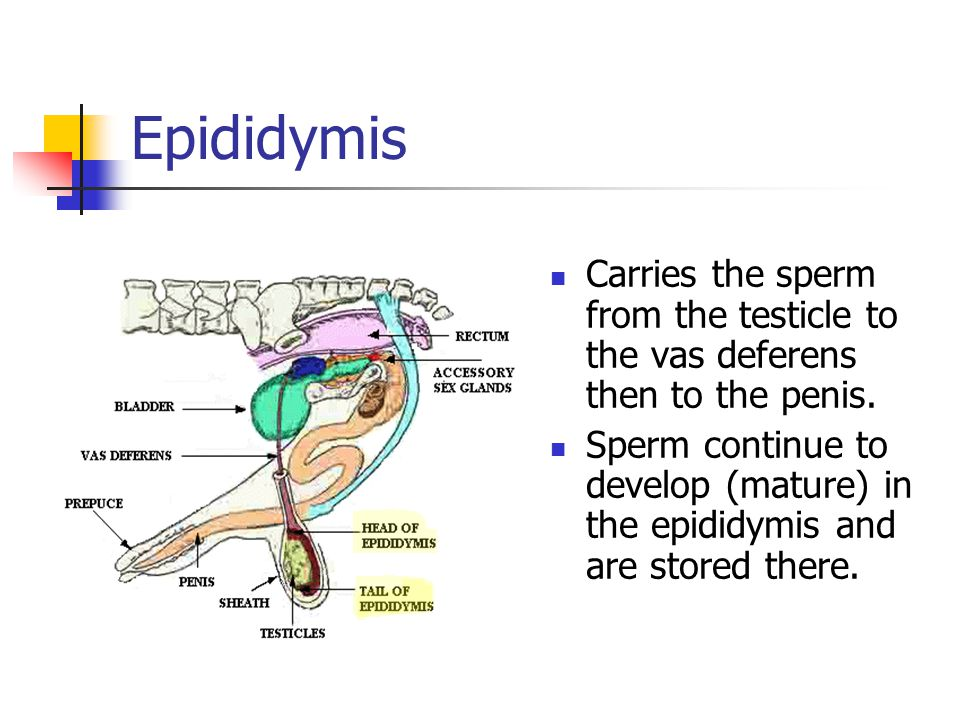 Epididymis Carries the sperm from the testicle to the vas deferens then to the penis.
