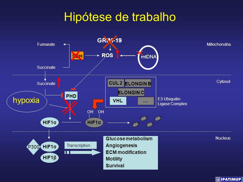 Hipótese de trabalho hypoxia GRIM-19 ROS SDH mtDNA HIF1α ELONGIN B