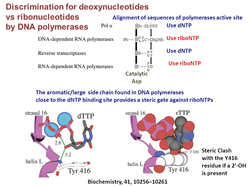 Discrimination for deoxynucleotides vs ribonucleotides