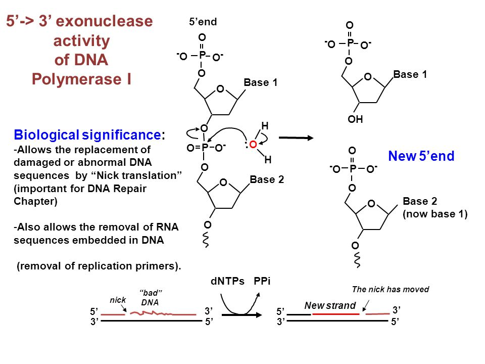 5'-> 3' exonuclease activity of DNA Polymerase I