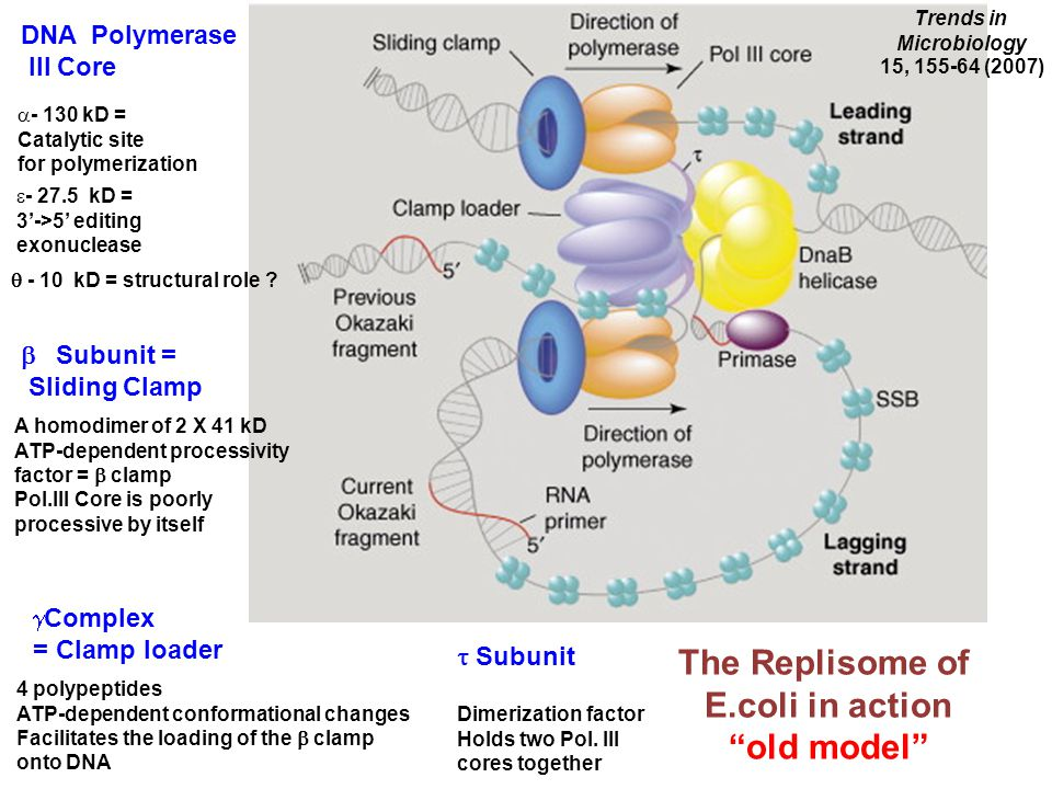 The Replisome of E.coli in action old model