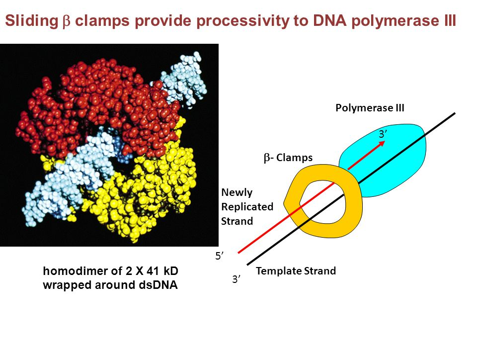 Sliding b clamps provide processivity to DNA polymerase III