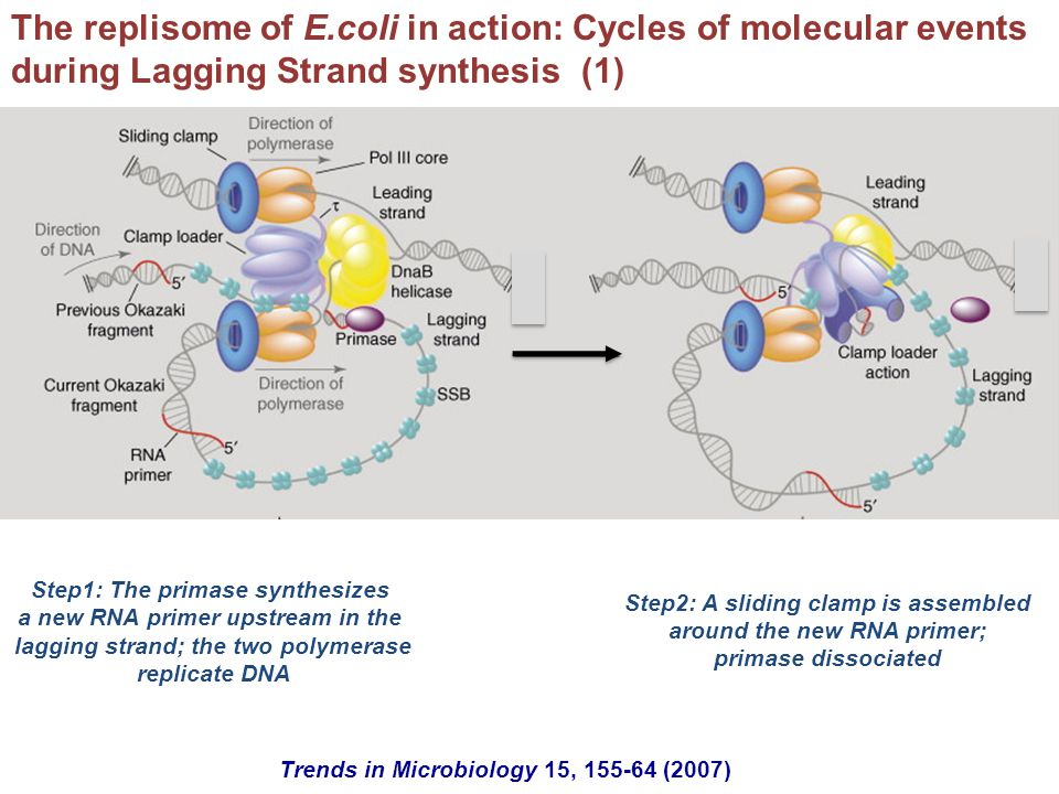 The replisome of E.coli in action: Cycles of molecular events during Lagging Strand synthesis (1)