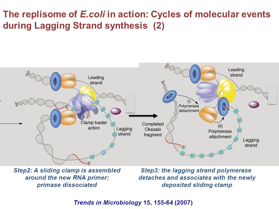 The replisome of E.coli in action: Cycles of molecular events during Lagging Strand synthesis (2)
