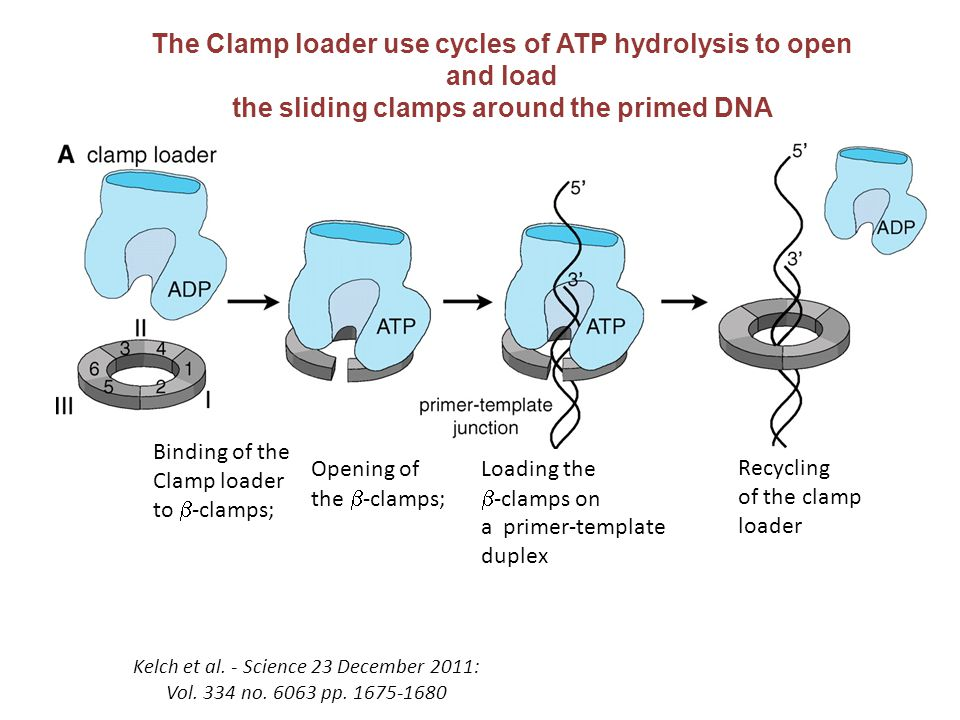 The Clamp loader use cycles of ATP hydrolysis to open and load