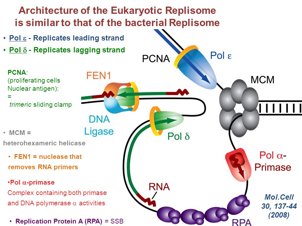 Architecture of the Eukaryotic Replisome