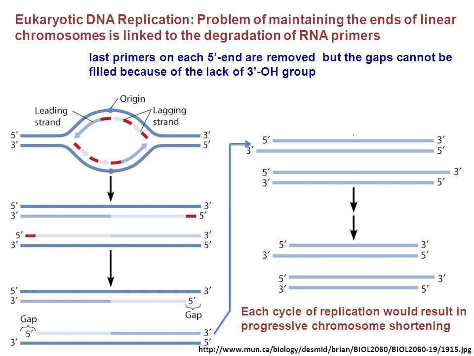 Eukaryotic DNA Replication: Problem of maintaining the ends of linear chromosomes is linked to the degradation of RNA primers
