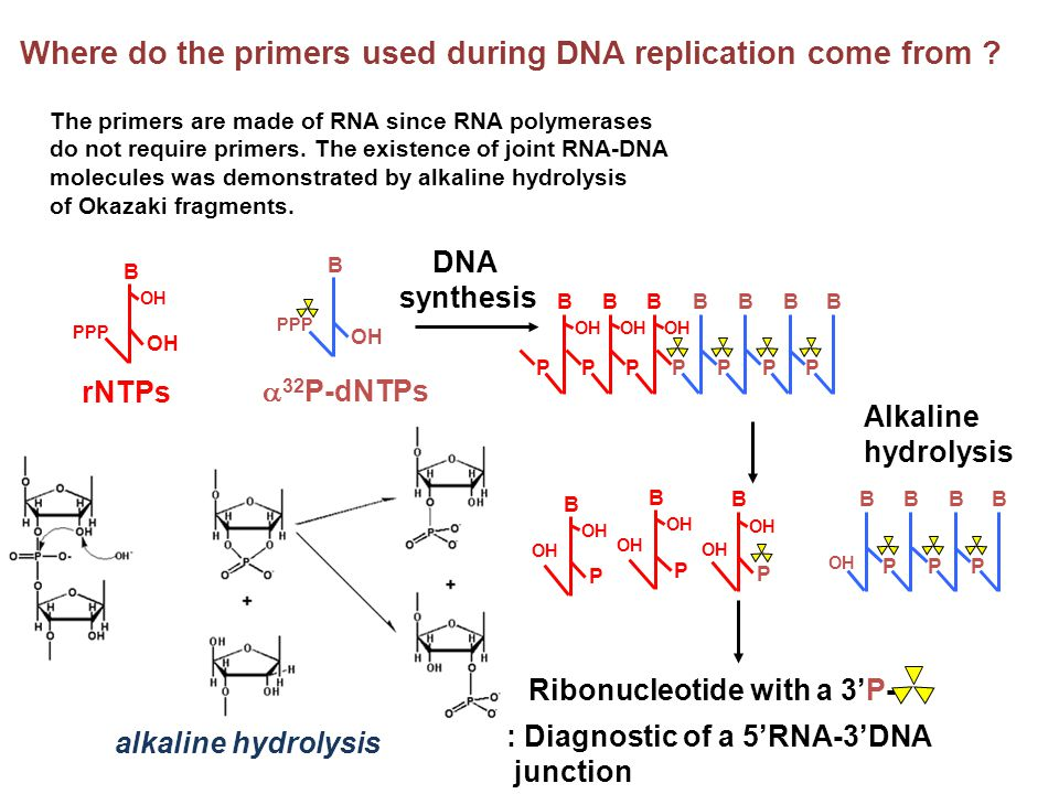 Where do the primers used during DNA replication come from