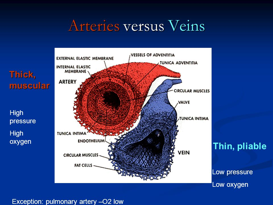Arteries versus Veins Thick, muscular Thin, pliable High pressure