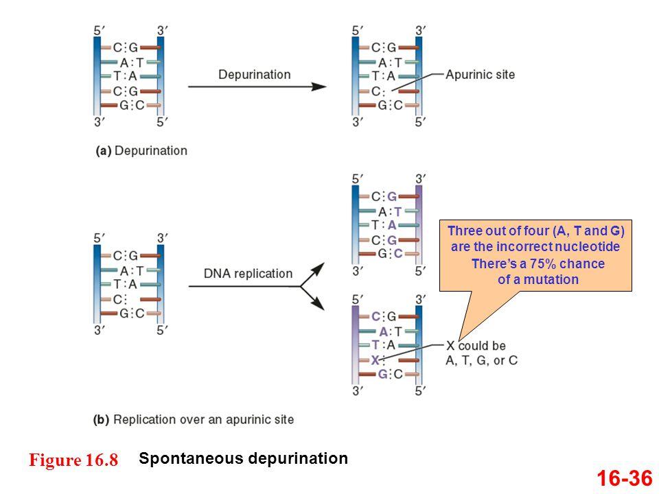 16-36 Figure 16.8 Spontaneous depurination