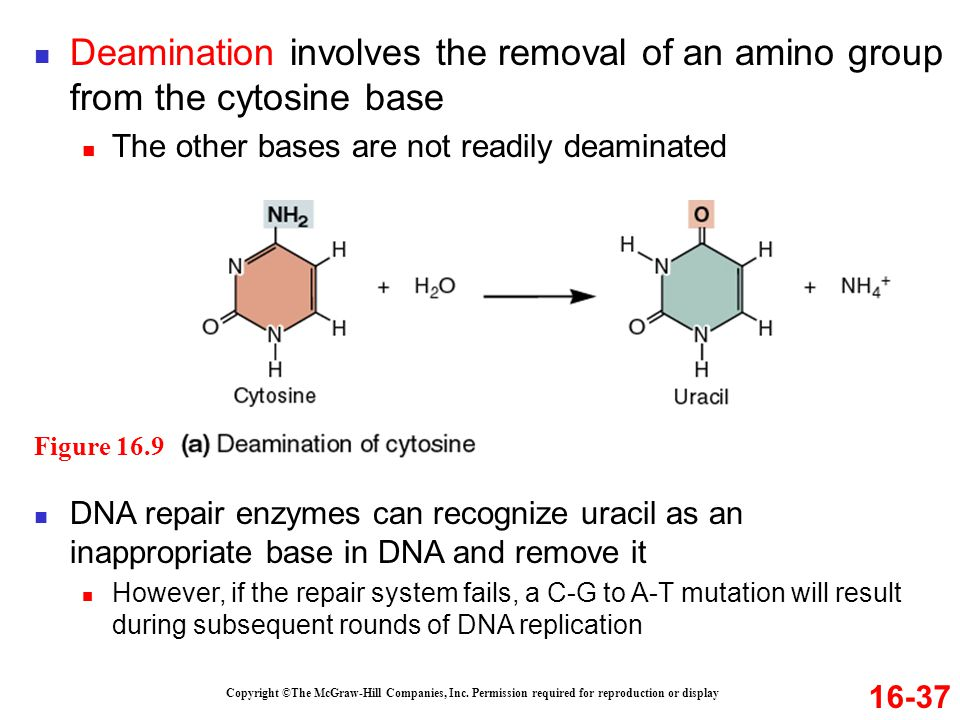 Deamination involves the removal of an amino group from the cytosine base