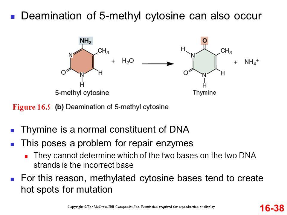 Deamination of 5-methyl cytosine can also occur