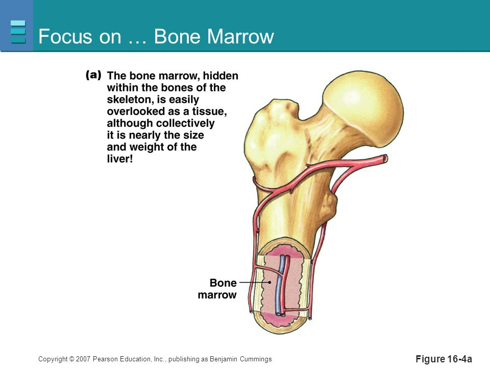 Focus on … Bone Marrow Figure 16-4a
