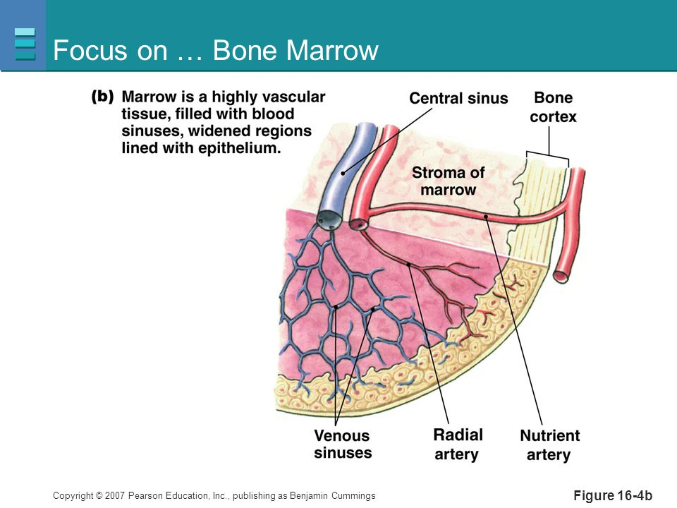 Focus on … Bone Marrow Figure 16-4b