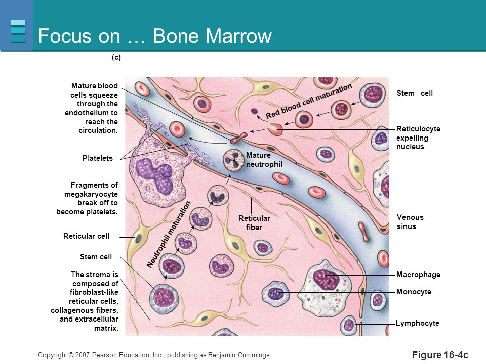 Focus on … Bone Marrow Figure 16-4c Platelets Reticulocyte expelling