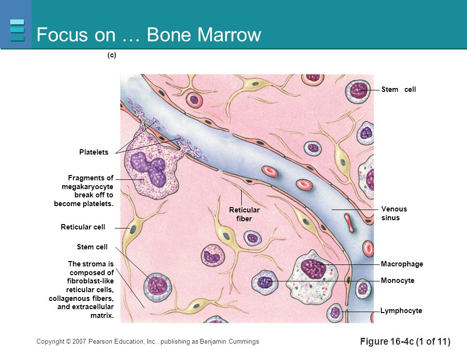 Focus on … Bone Marrow Figure 16-4c (1 of 11) Platelets Stem cell