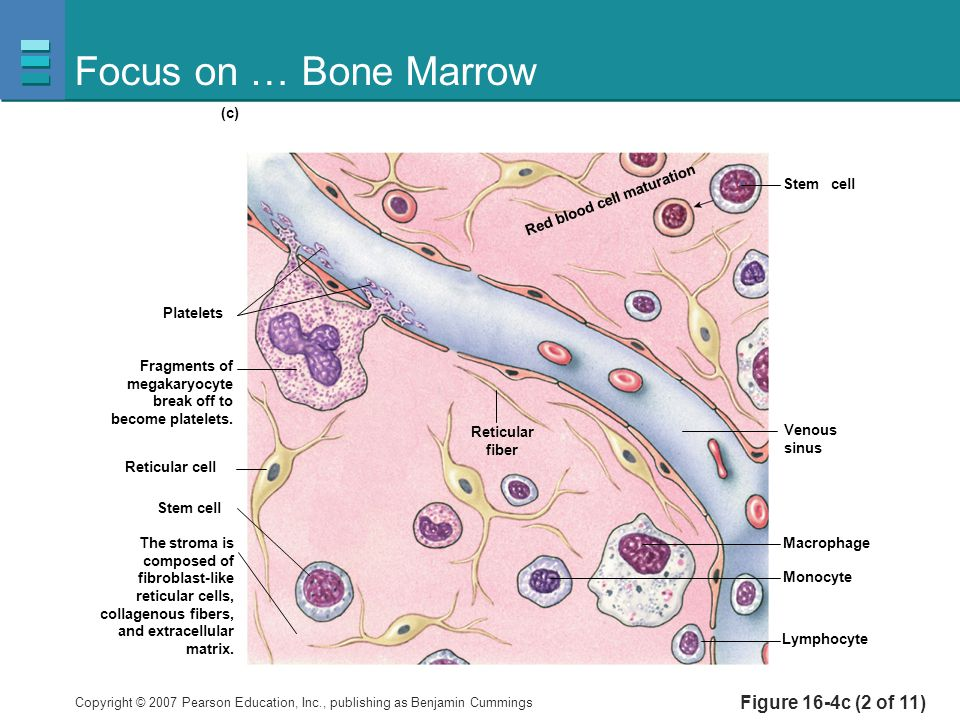 Focus on … Bone Marrow Figure 16-4c (2 of 11) Platelets Stem cell