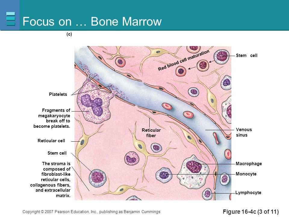 Focus on … Bone Marrow Figure 16-4c (3 of 11) Platelets Stem cell