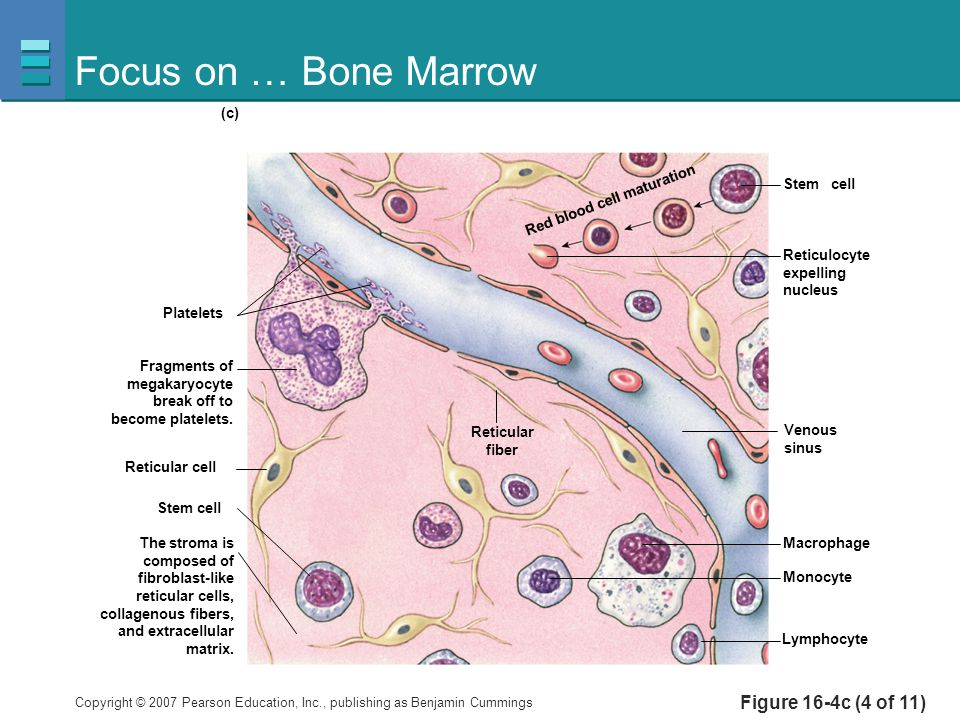 Focus on … Bone Marrow Figure 16-4c (4 of 11) Platelets Reticulocyte