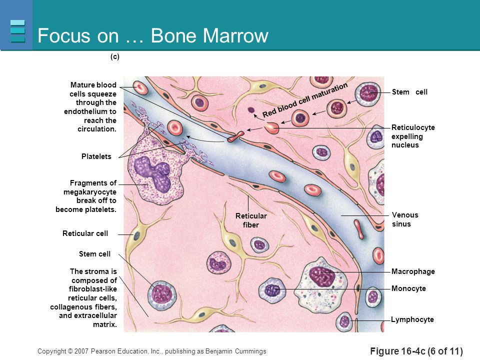 Focus on … Bone Marrow Figure 16-4c (6 of 11) Platelets Reticulocyte
