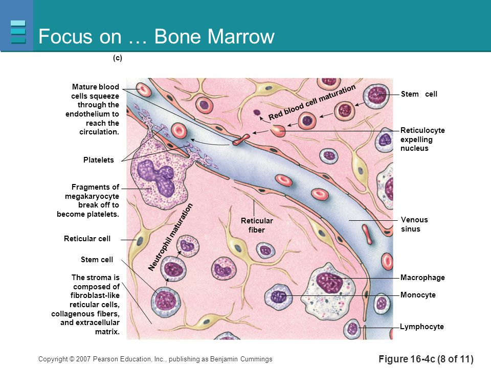 Focus on … Bone Marrow Figure 16-4c (8 of 11) Platelets Reticulocyte
