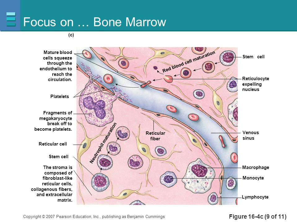 Focus on … Bone Marrow Figure 16-4c (9 of 11) Platelets Reticulocyte