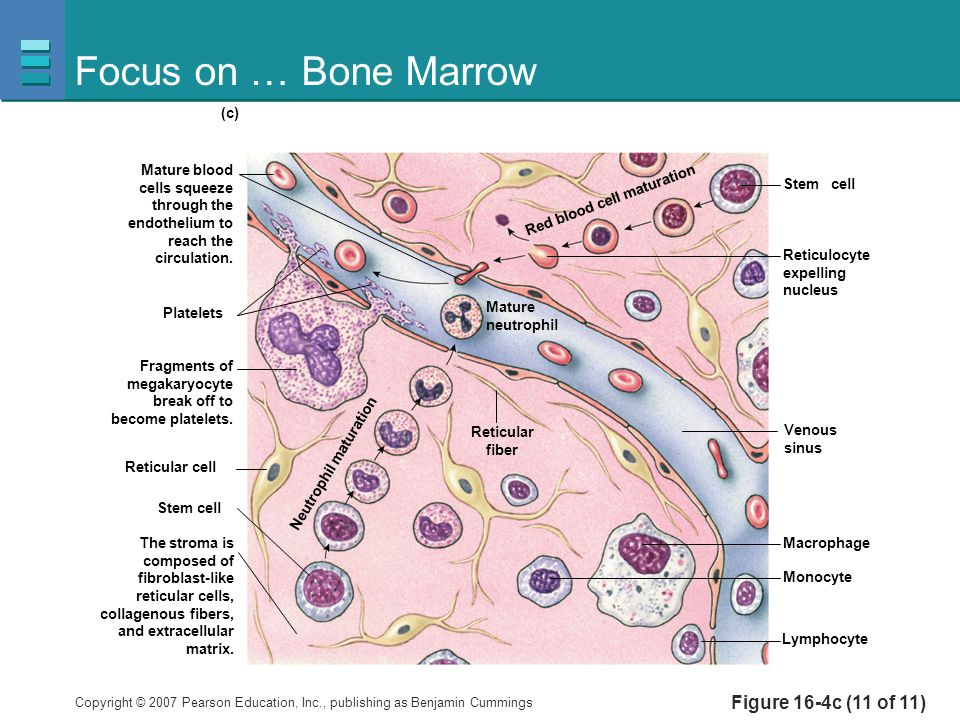 Focus on … Bone Marrow Figure 16-4c (11 of 11) Platelets Reticulocyte