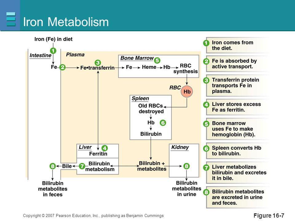 Iron Metabolism Figure 16-7