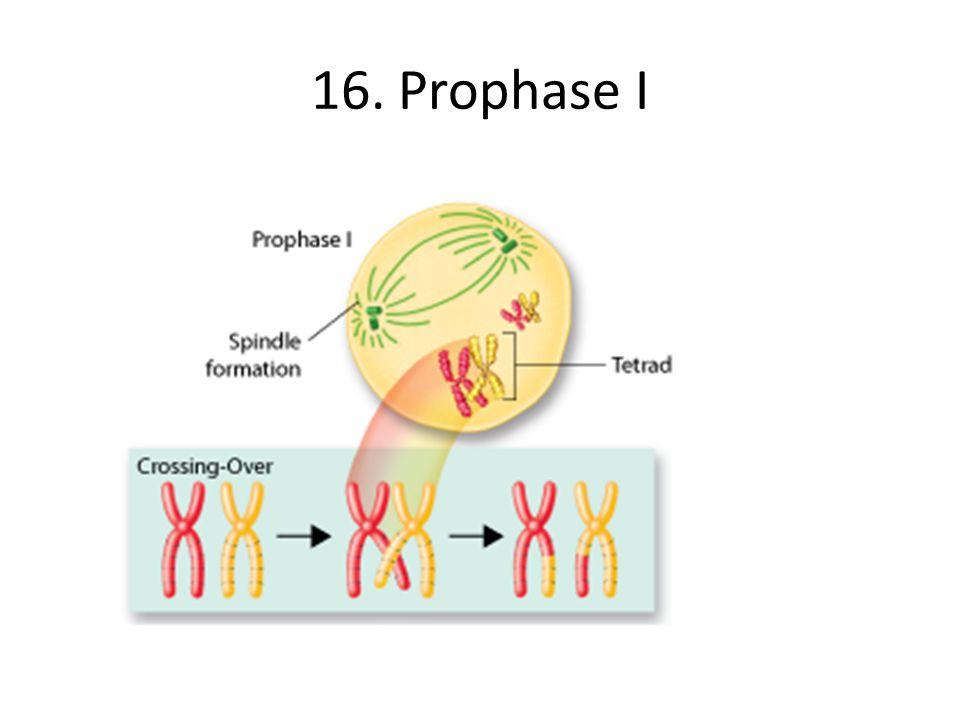 16. Prophase I