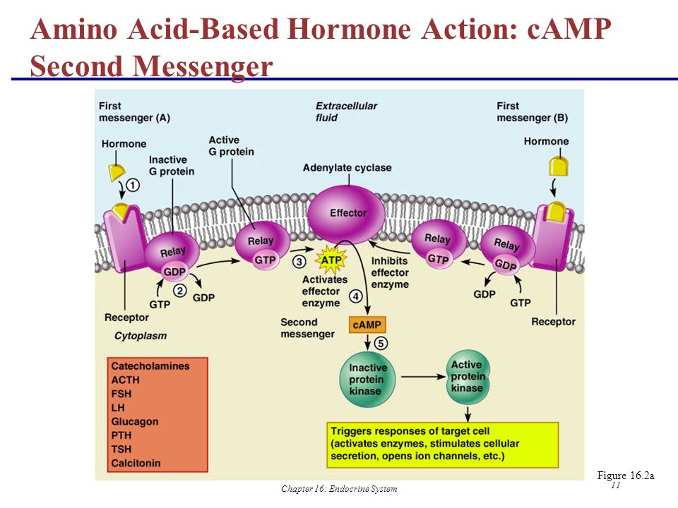 Amino Acid-Based Hormone Action: cAMP Second Messenger
