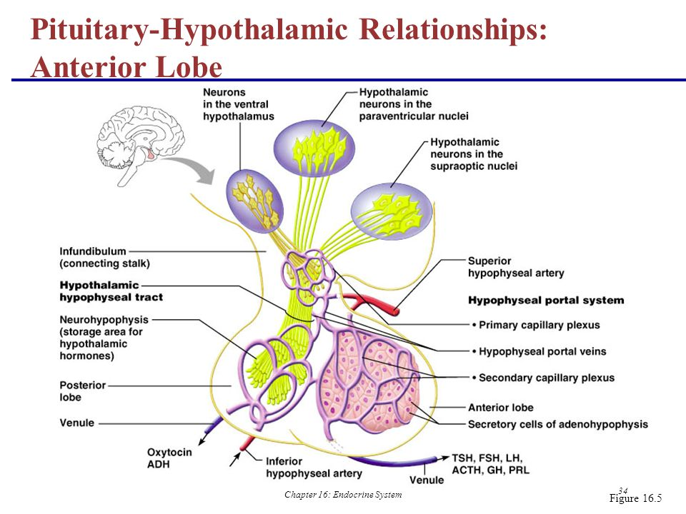 Pituitary-Hypothalamic Relationships: Anterior Lobe
