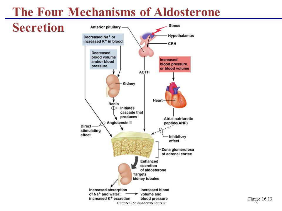 The Four Mechanisms of Aldosterone Secretion