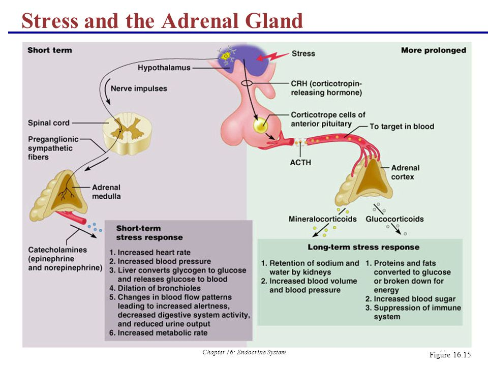 Stress and the Adrenal Gland