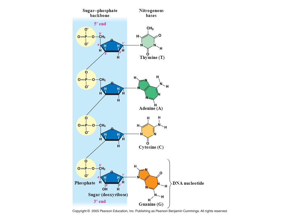 Sugar–phosphate backbone. Nitrogenous. bases. 5 end. Thymine (T) Adenine (A) Cytosine (C) Phosphate.