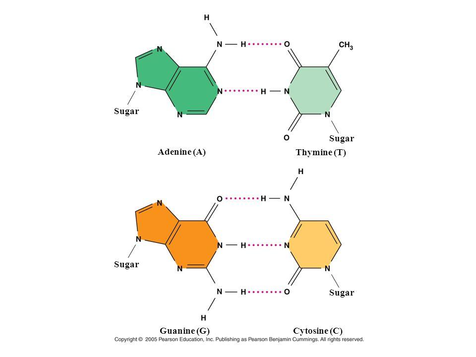 Sugar Sugar Adenine (A) Thymine (T) Sugar Sugar Guanine (G) Cytosine (C)