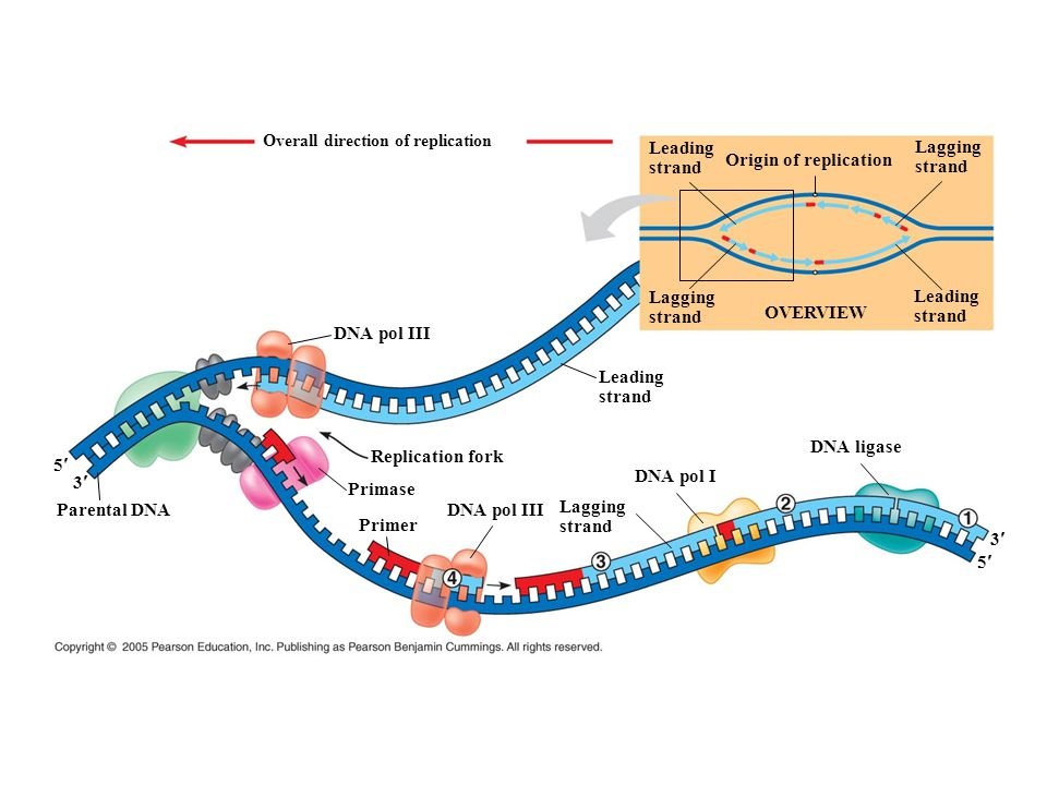 Origin of replication OVERVIEW DNA pol III Leading strand DNA ligase