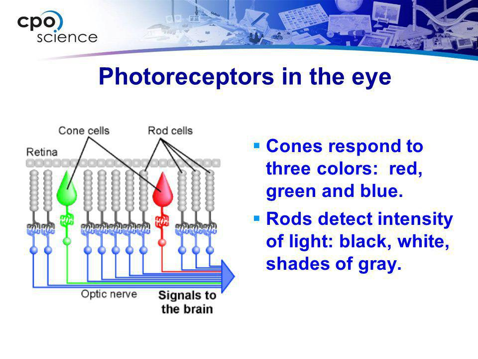 Photoreceptors in the eye