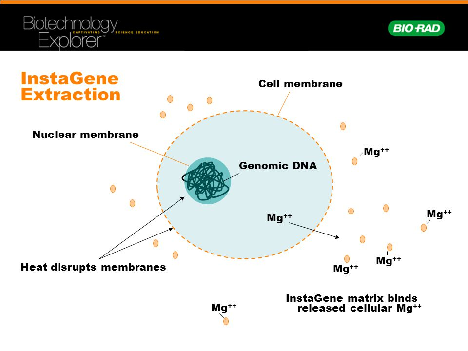 InstaGene Extraction Cell membrane Nuclear membrane Mg++ Genomic DNA