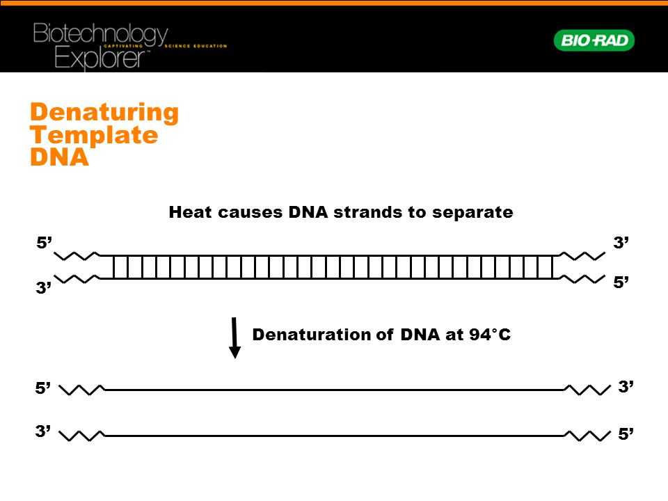 Denaturing Template DNA