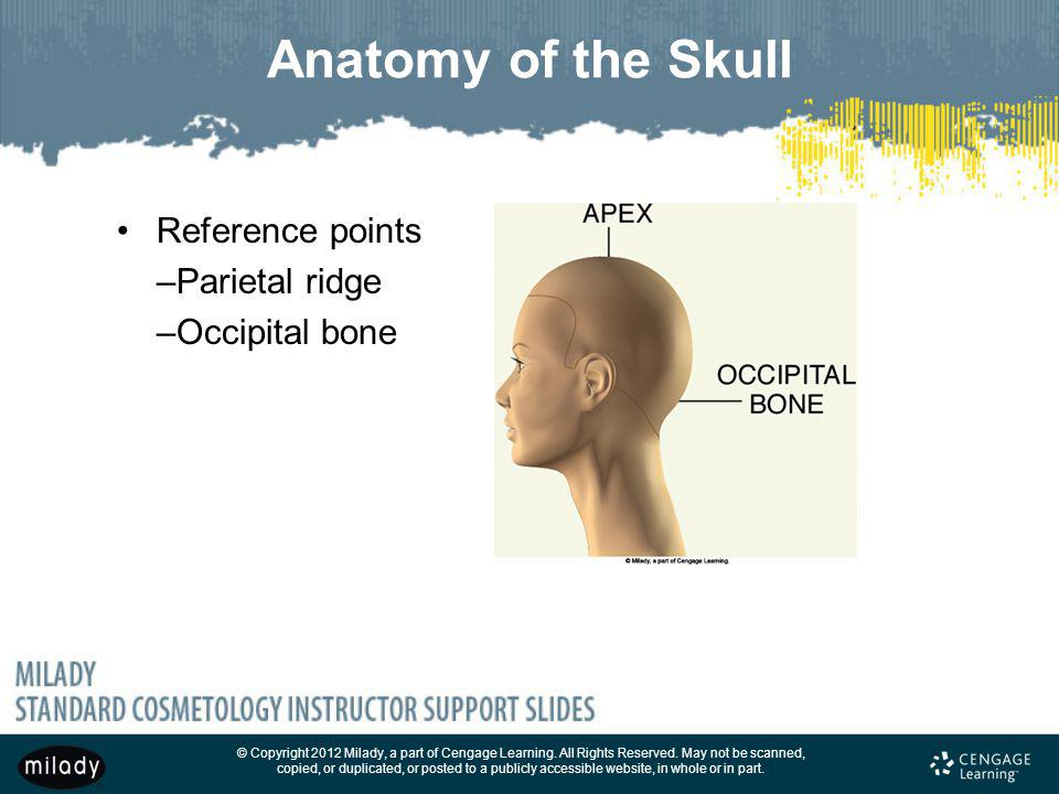Anatomy of the Skull Reference points –Parietal ridge –Occipital bone