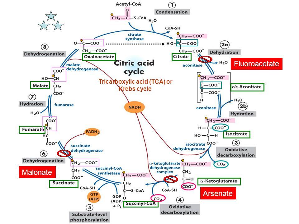 Tricarboxylic acid (TCA) or Krebs cycle