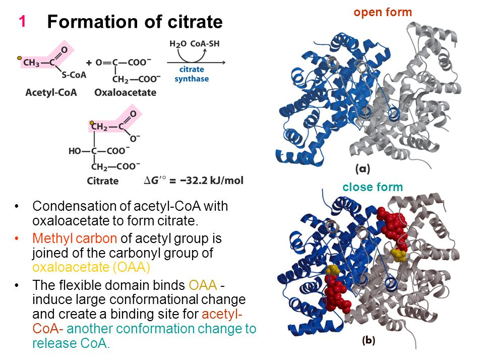 open form 1. Formation of citrate. close form. Condensation of acetyl-CoA with oxaloacetate to form citrate.