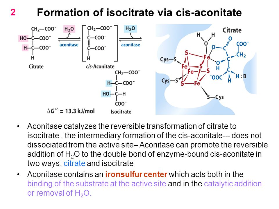 Formation of isocitrate via cis-aconitate