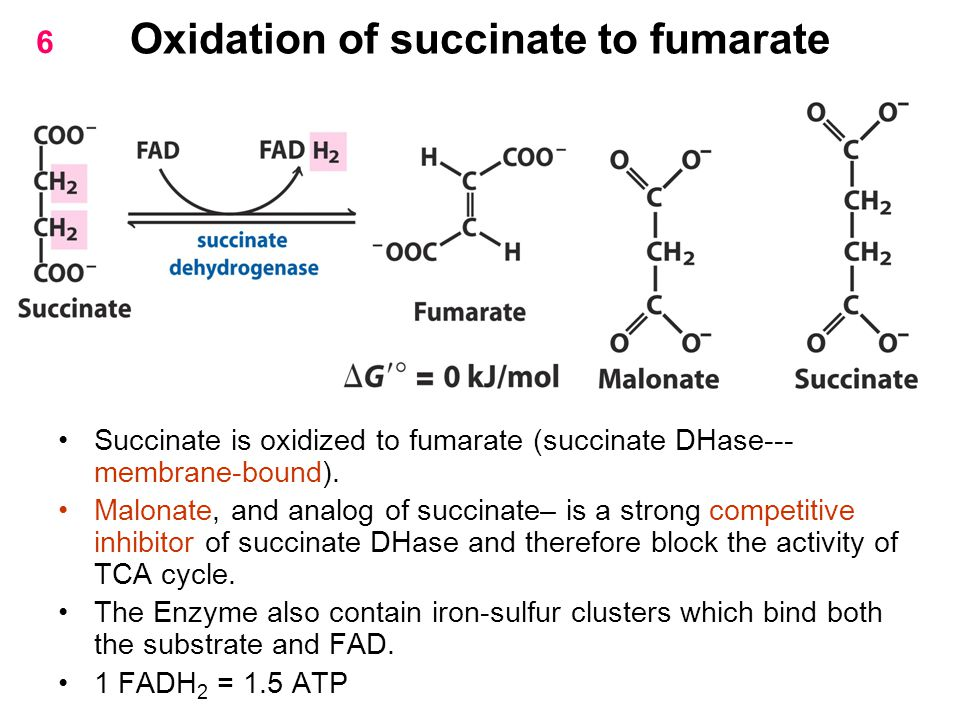 Oxidation of succinate to fumarate